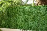 Haie feuilles de lierre